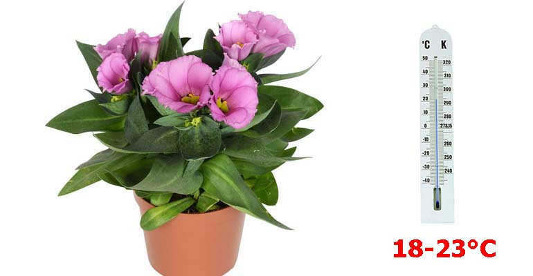 цветок эустома выращивание