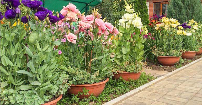 эустома в саду выращивание