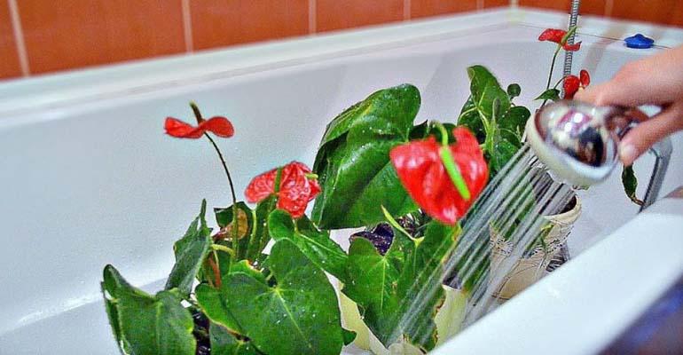 цветок антуриум уход в домашних условиях