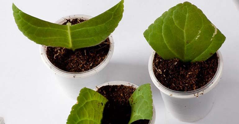 глоксиния уход в домашних условиях размножение