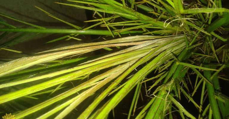 цветок финиковая пальма уход в домашних условиях