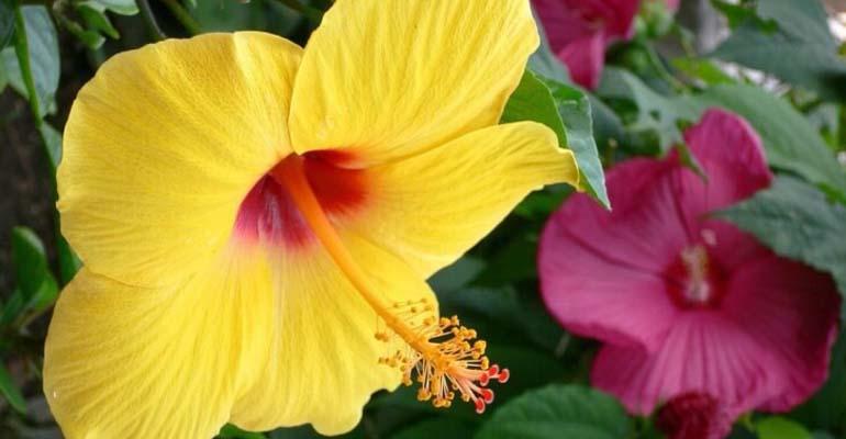 гибискус цветок комнатный