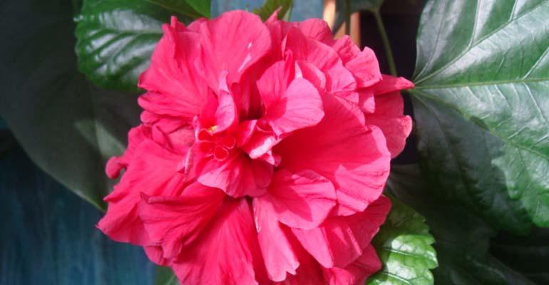 комнатное растение китайская роза