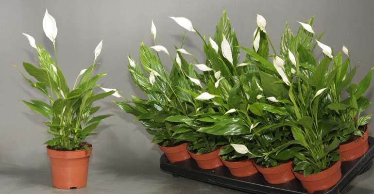 цветок спатифиллум уход в домашних