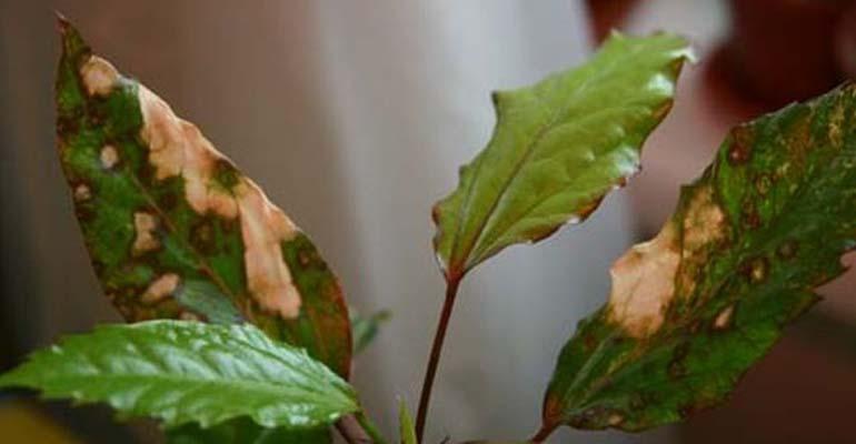 гибискус цветок роза