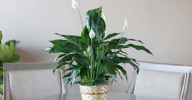 спатифиллум зеленеют цветы